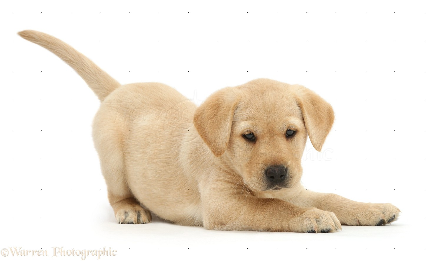 Beautiful Puppies Bow Adorable Dog - 41059-Cute-Yellow-Labrador-puppy-in-play-bow-white-background  Picture_551695  .jpg
